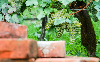 Tra le vigne di Kujija